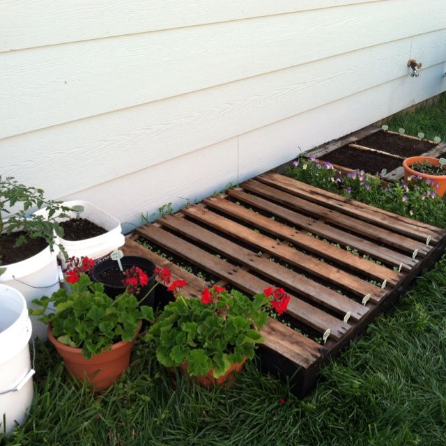 The Fraggle Rock garden (lots of radishes in the pallets). Also a Black Prince Tomato, some carrots, and some different carrots in the buckets to the left. Photo taken 6/8/12
