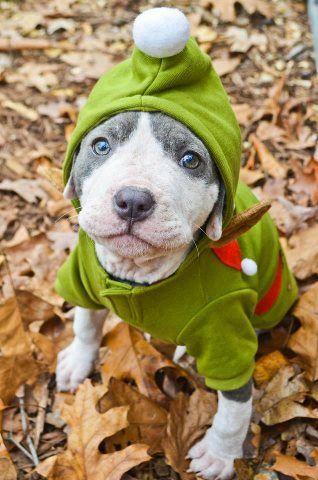 Elf Pittie Pitbull Terrier Pitbulls American Pitbull Terrier