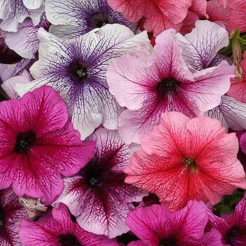 Prism Vein Sundae Mix Petunia Petunias Flower Seeds Annual Flowers