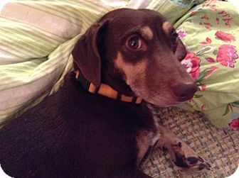 Pin By Jo Wiest On Rescue Dogs Dogs Dachshund Adoption