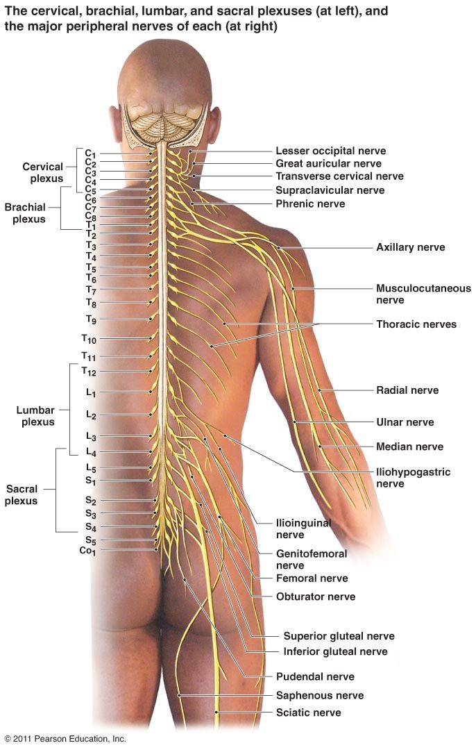 Peripheral Nervous System Components | Spinal Nerves (31 pairs ...