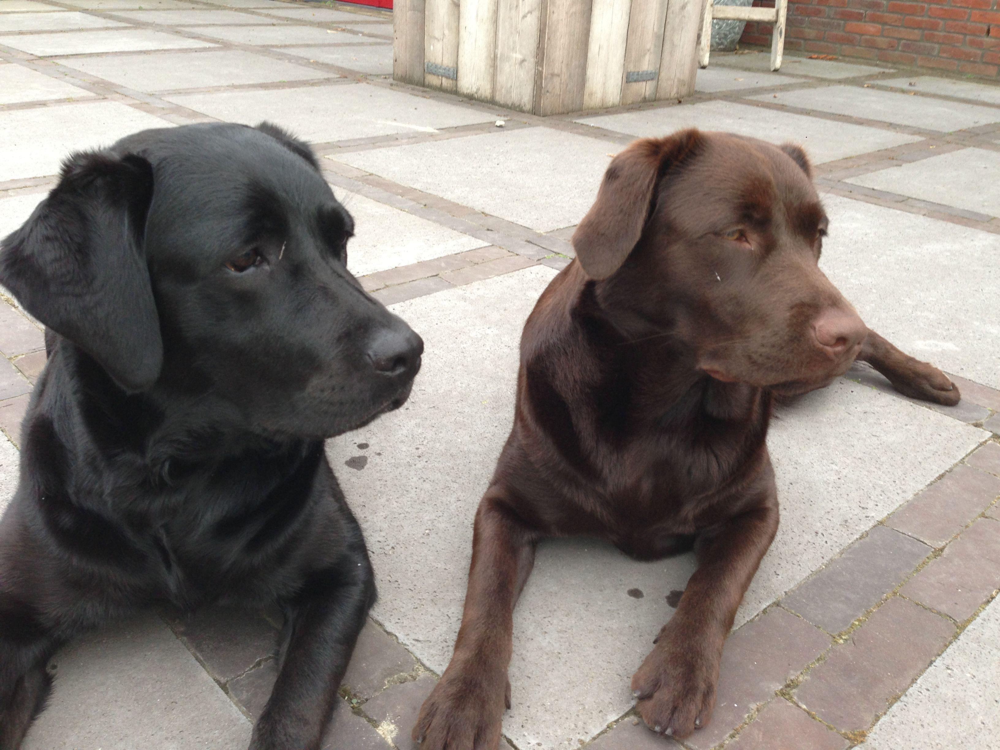 Labrador Couple Labrador Dog Cat Animals
