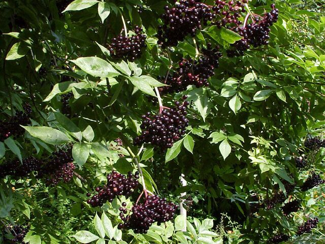 I found some of these today.... yummy elderberries