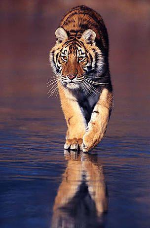Amur Tiger by Klein & Huber / WWF