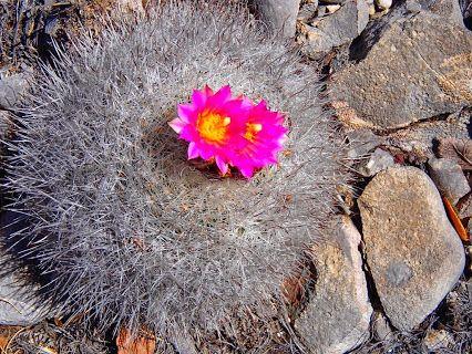 Cactus en primavera, Santa Catalina, Nuevo León - MÉXICO.