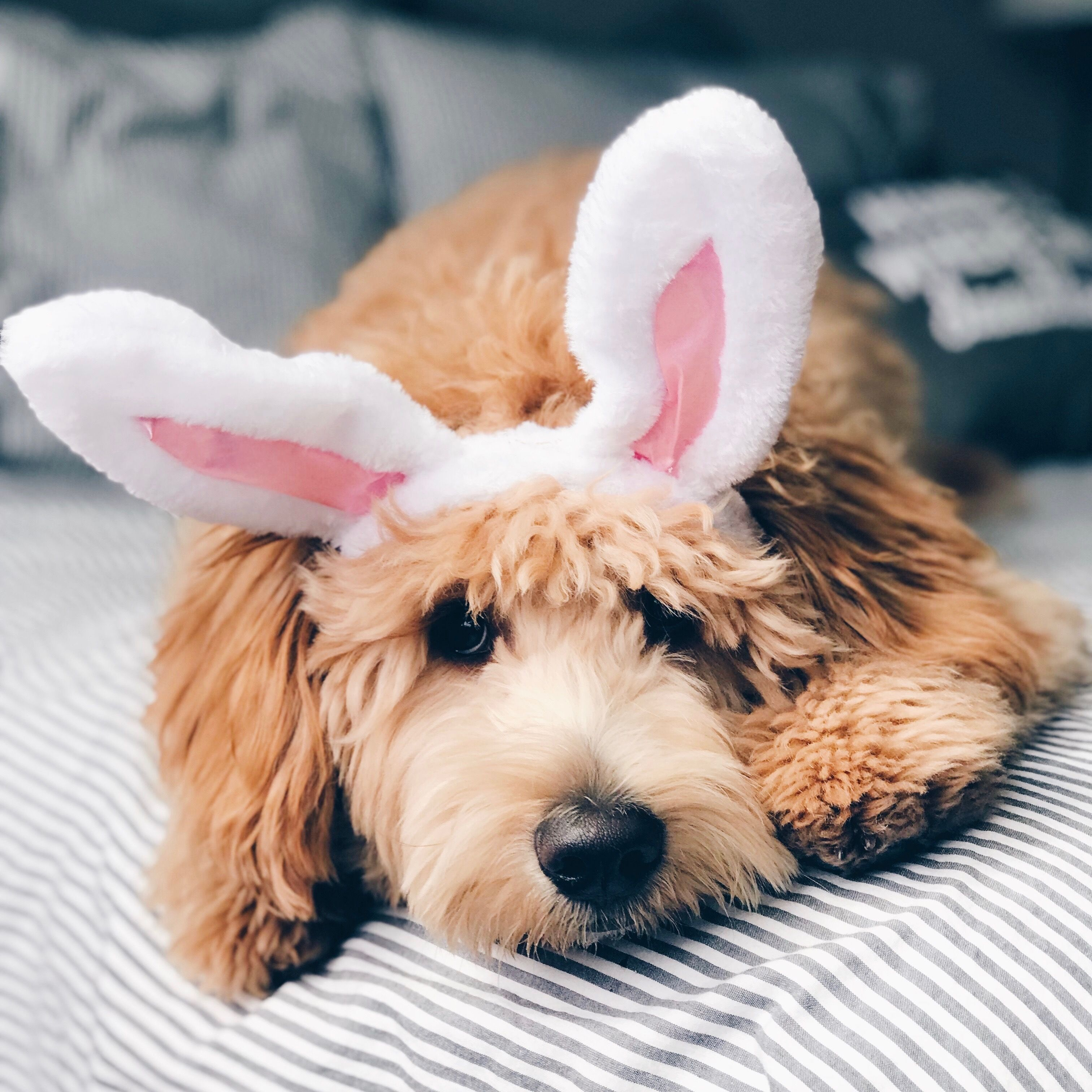 dog halloween costume easter goldendoodle (With images