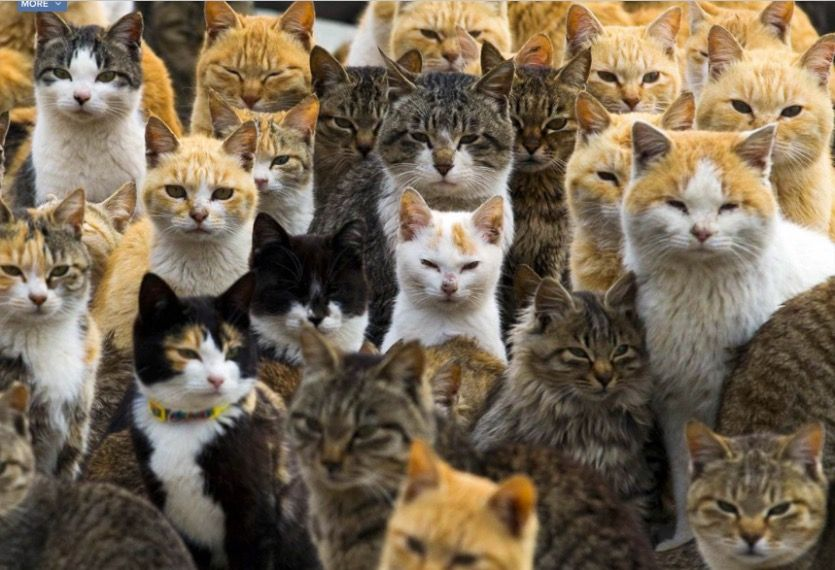 Cats of Aoshima Island in southern Japan. They rule this remote island, curled up in abandoned houses or strutting around the fishing village (where they outnumber humans 6 to 1). Brought to this mile-long island to deal with mice on fishing boats, the cats stayed on and multiplied.