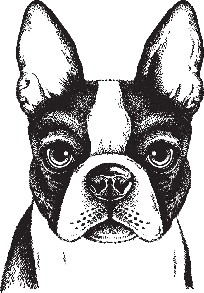 Boston Terrier French Bulldog Puppy Painted Dog 698 1000 Transprent Png Free Download Monochrome Non Sporting Group Boston Terrier Art Dog Drawing Dog Art