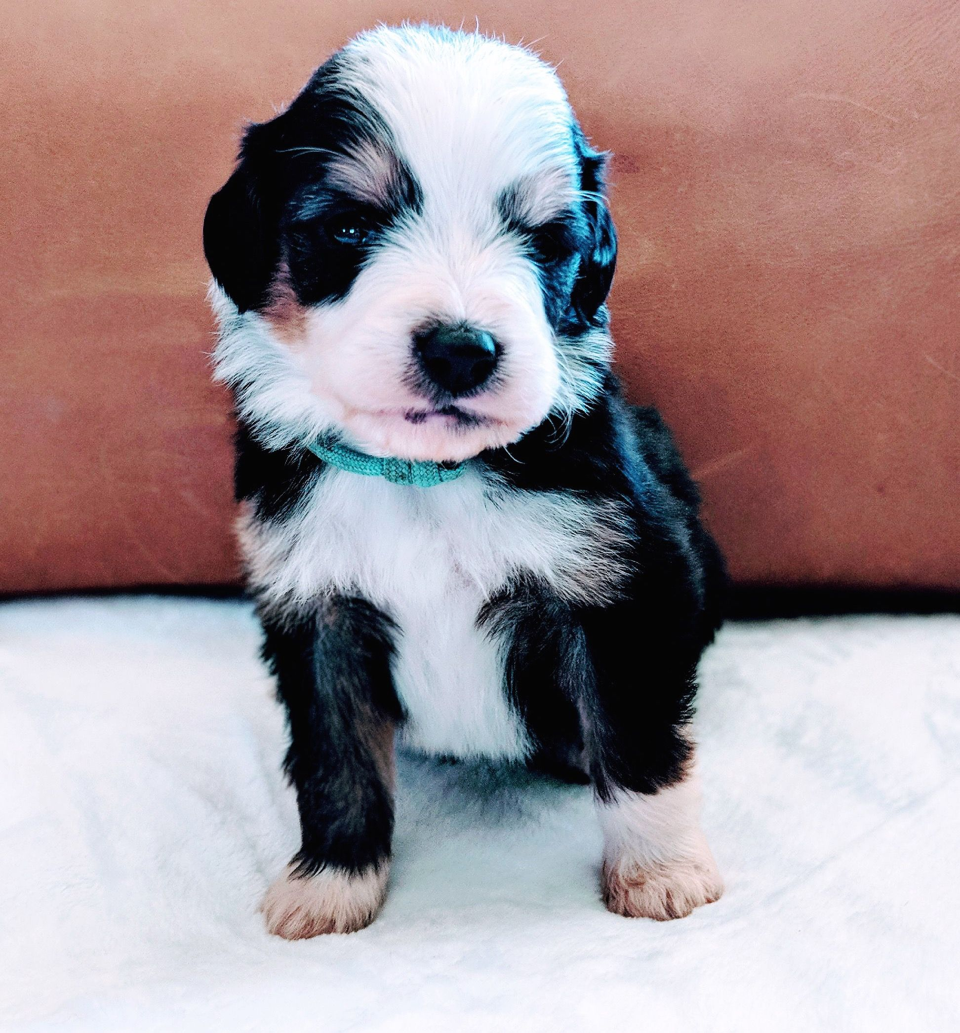 Bernedoodle Puppies For Sale Bernedoodle Puppy Bernese Mountain Dog Poodle Puppies