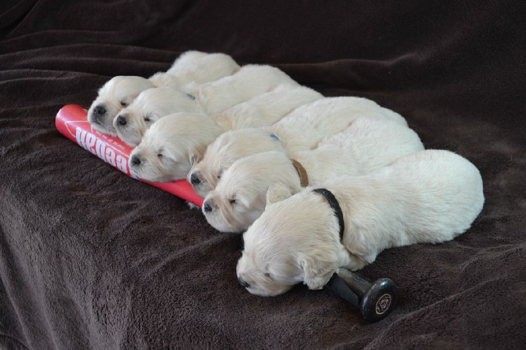 Available English Cream Golden Retriever Puppies Sleeping Dogs