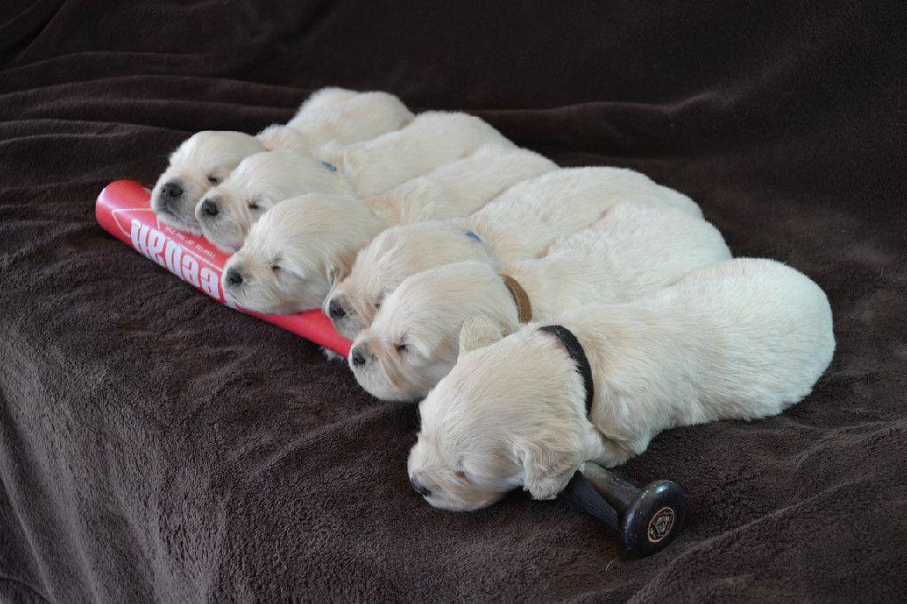 Available English Cream Golden Retriever Puppies Sleeping Dogs Puppies White Golden Retriever Puppy