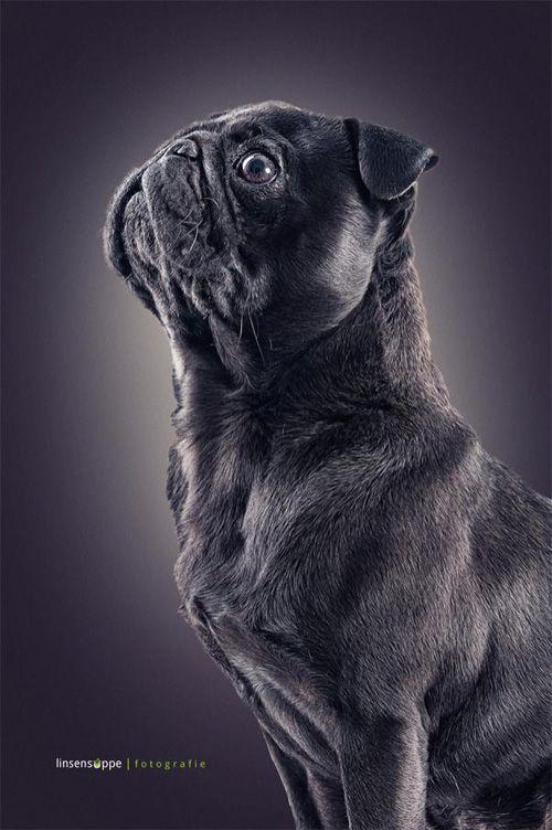 Dog Portraits By Daniel Sadlowski Dog Photography Pugs