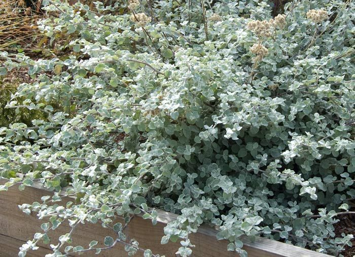 helichrysum licorice plant
