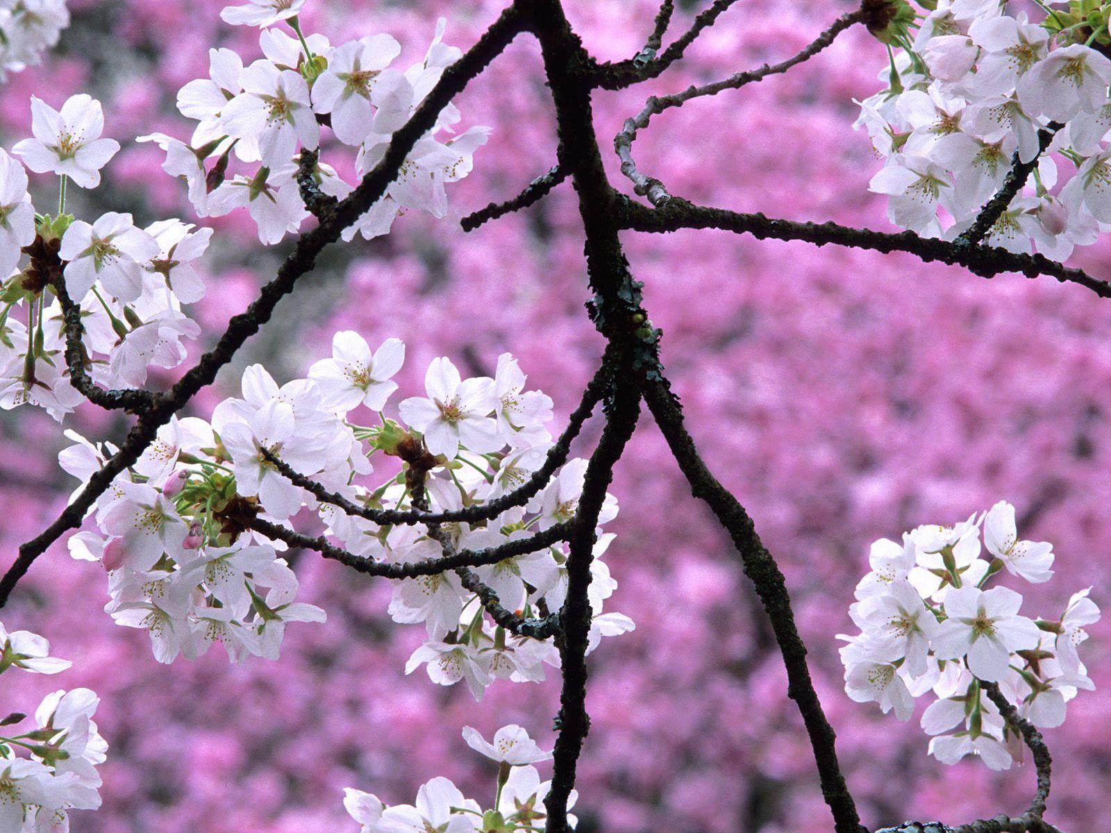 Cherry Blossoms Kirschblute Wallpaper Kirschbluten Baum Weisse Kirschblute