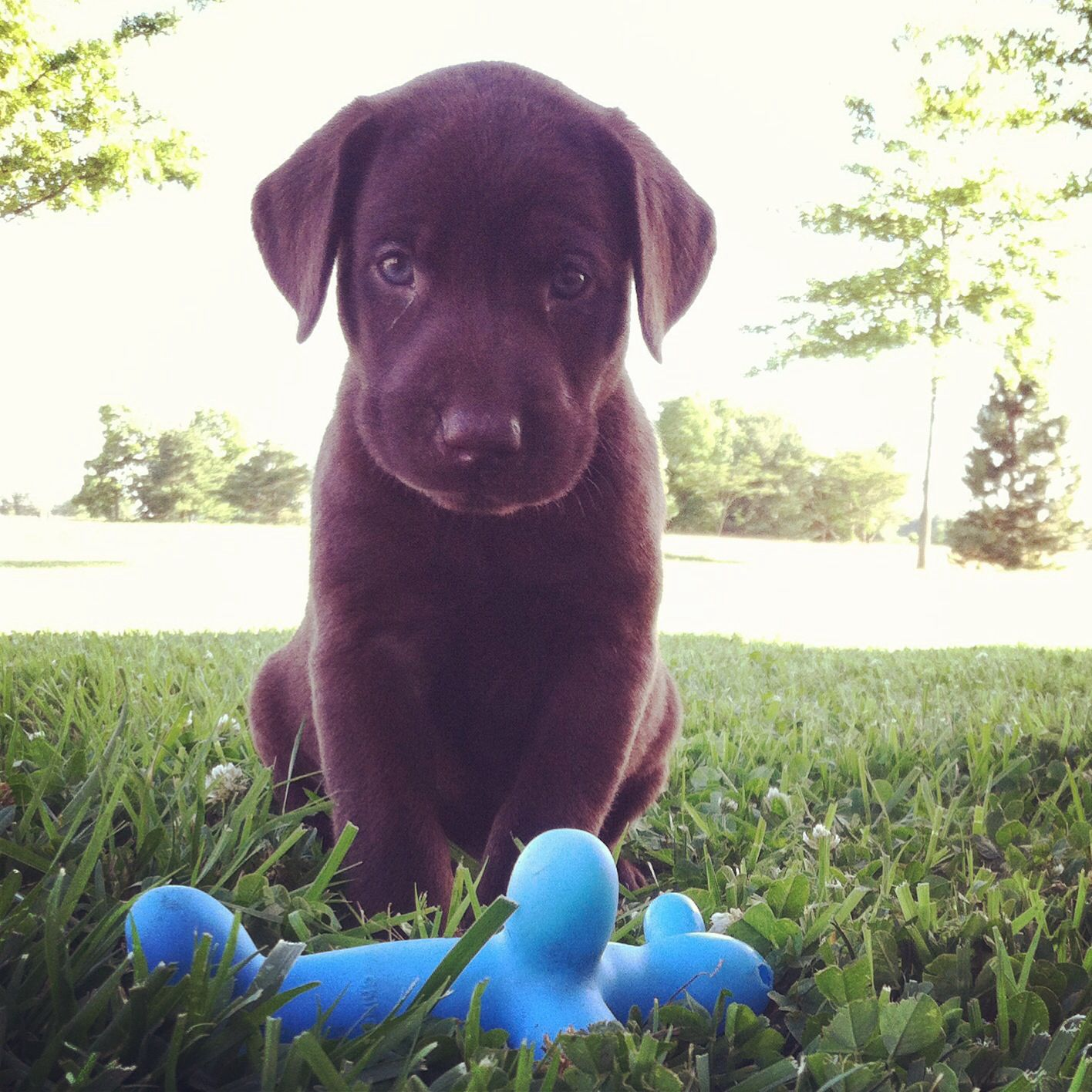 Chocolate Lab Puppy 6 Weeks Old This Is What Bella Will Look Like Makes Me So Excited To Bring My Sweet Puppy Hom
