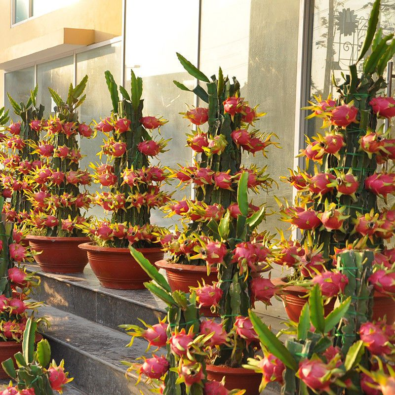 100pcs Rare Red Dragon Fruit Seeds Bonsai Organic Garden Sweet Fruit Plant Ebay Fruit Plants Plants Fruit Trees