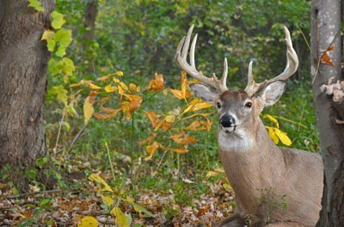 Image detail for -Big Whitetail Buck In Autumn Woods. Royalty Free ...