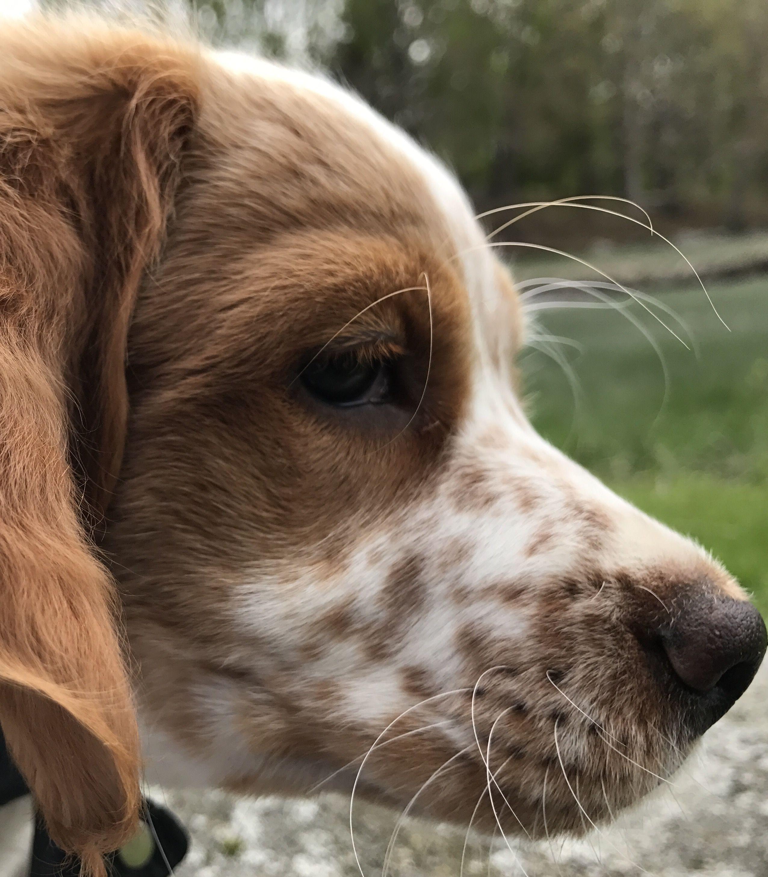 Epagneul breton puppy love puppies dogs puppy love