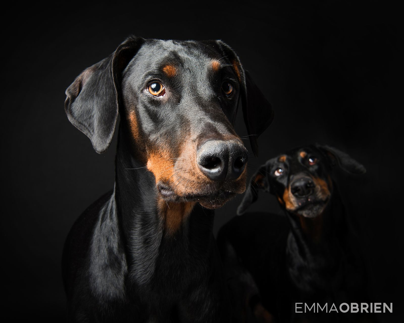 Doberman Dog Studio Portraits Pretoria South Africa Photography By Emma Dog Portrait Photography Africa Photography Personalized Dog Art
