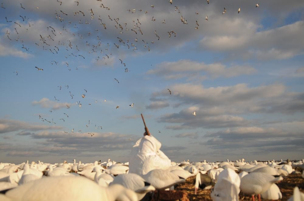 d8d4e1ac0b98b snow goose hunting photography   Photos: Hunting The Atlantic Flyway With a Snow  Goose Addict