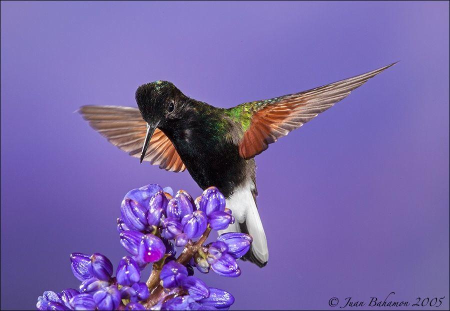 Blackbellied Hummingbird by Juan Bahamon on 500px