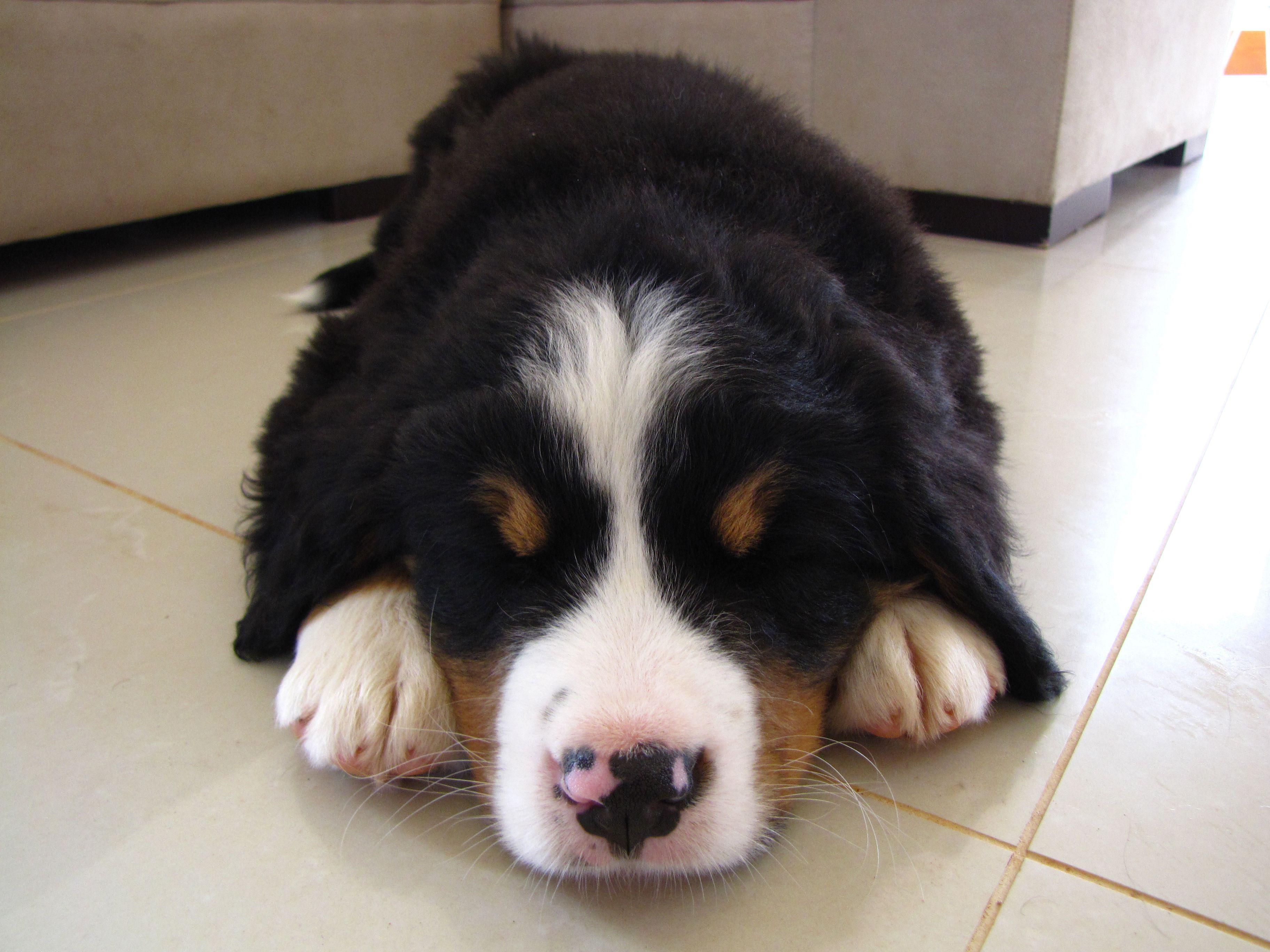 Layla. My Bernese Mountain Dog.