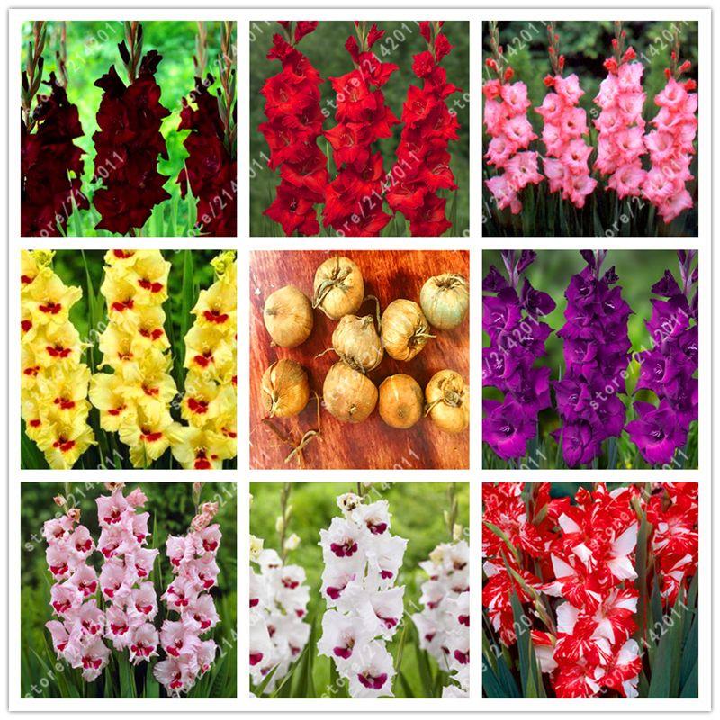참 글라디올러스 전구 (글라디올러스 씨), 꽃 전구 희귀 칼 릴리 에어로빅 화분 분재 장식 정원-2 전구