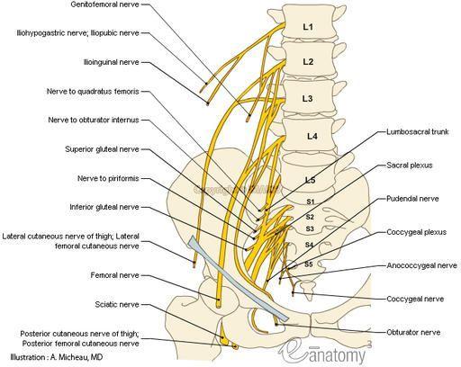 Lumbosacral Plexus Anatomy Human Anatomy Lumbar Nerves L1 L5