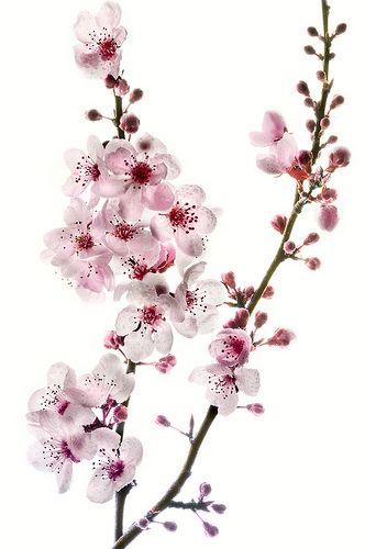 Cherry Branch On White Blossom Tree Tattoo Cherry Blossom