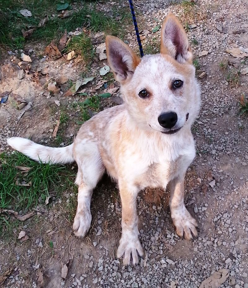 Adopt Matey On Petfinder Aussie Cattle Dog Cattle Dog