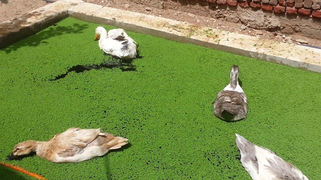 ٢ مايو ٢٠١٨ بط يلعب ويأكل في حوض الأزولا Ducks Eat And Play In An Azoll