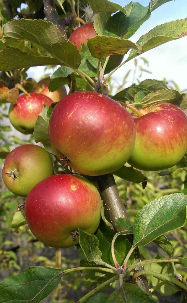 'Tickled Pink' Apples