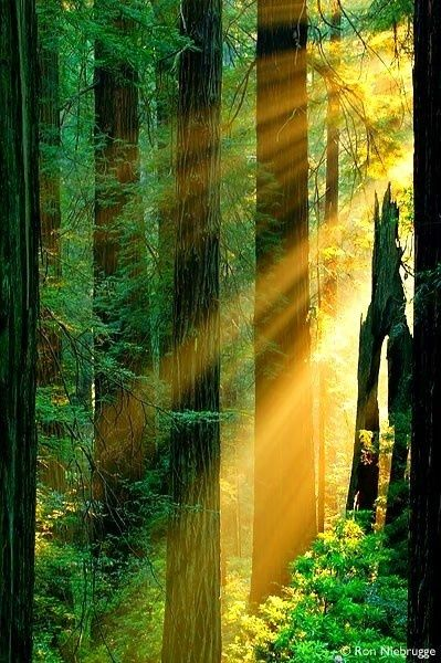 Sun Rays, Redwood Forest, California  ♥ ♥  www.paintingyouwithwords.com