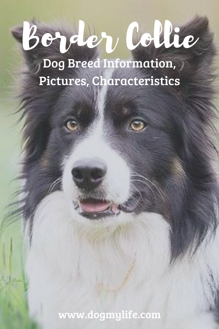 Border Collie Dog Breed Information Pictures Characteristics Nestlords Herding Breed Dogs Dog Breeds