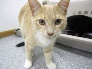 Derek is an adoptable Domestic Short Hair Cat in Indiana, PA. Hello, I'm Derek! I'm a laid back young fellow who enjoys lots of naps. Oh and kitty treats! I'd make the purrfect lap cat for someone loo...