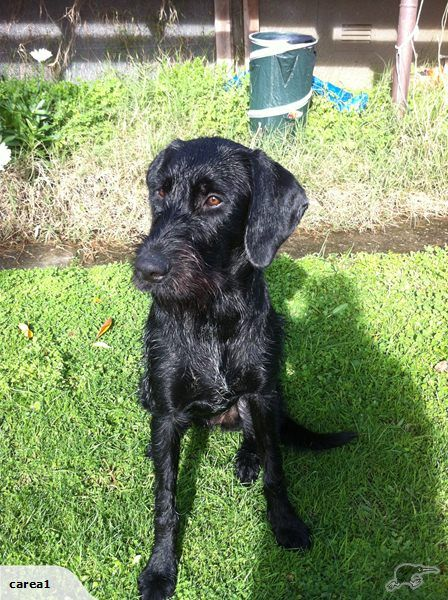 german wire haired pointer gwp black female trade me