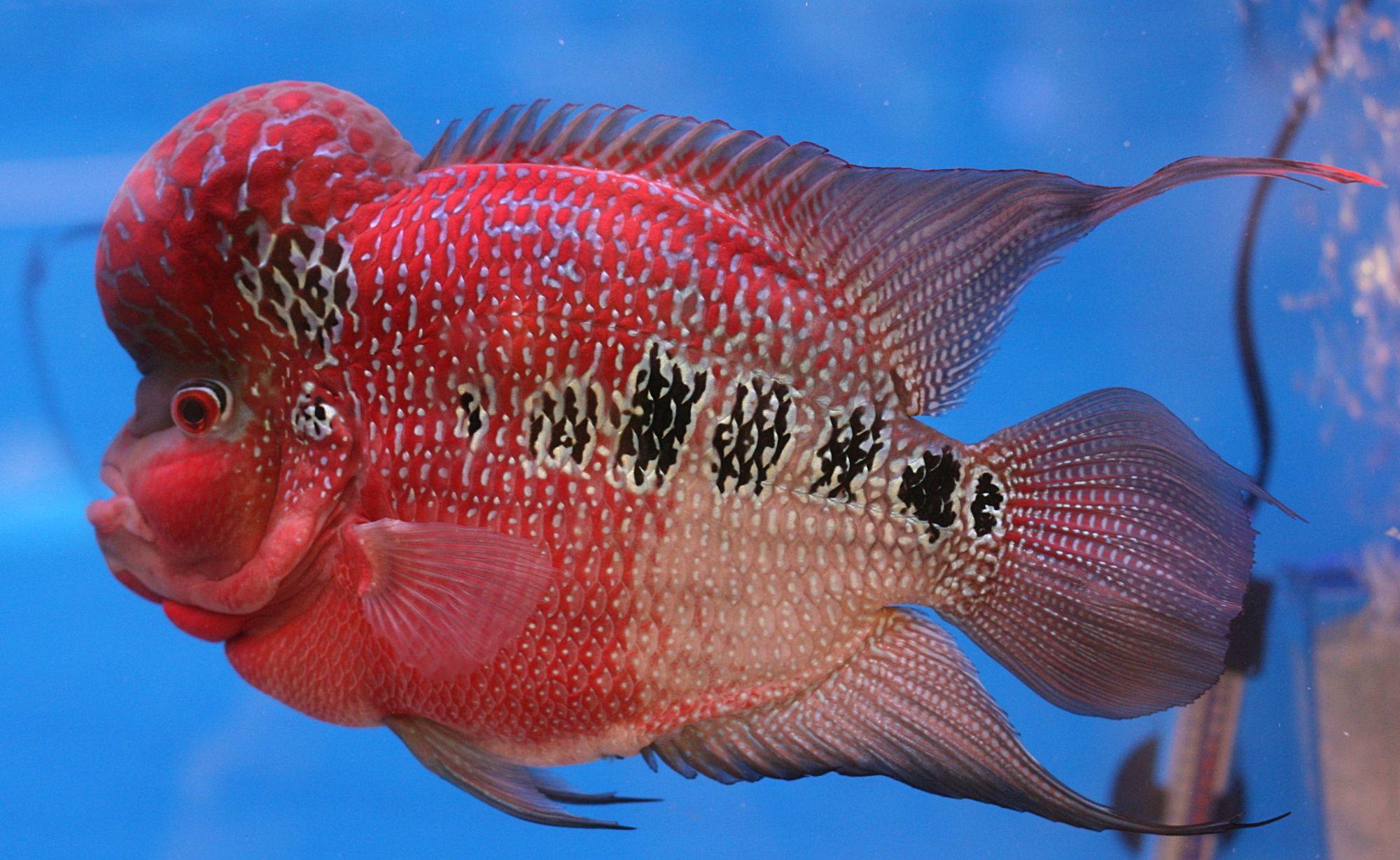 Flowerhorn Cichlid #red #fish #freshwater | aquarium life ...