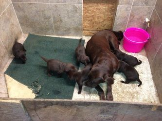 Available Or Upcoming Litters Texas Faith Labradors Litter
