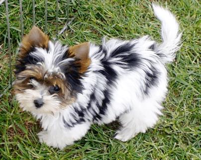 31 Bilder des eleganten Yorkshire Biewer Dogs Süße