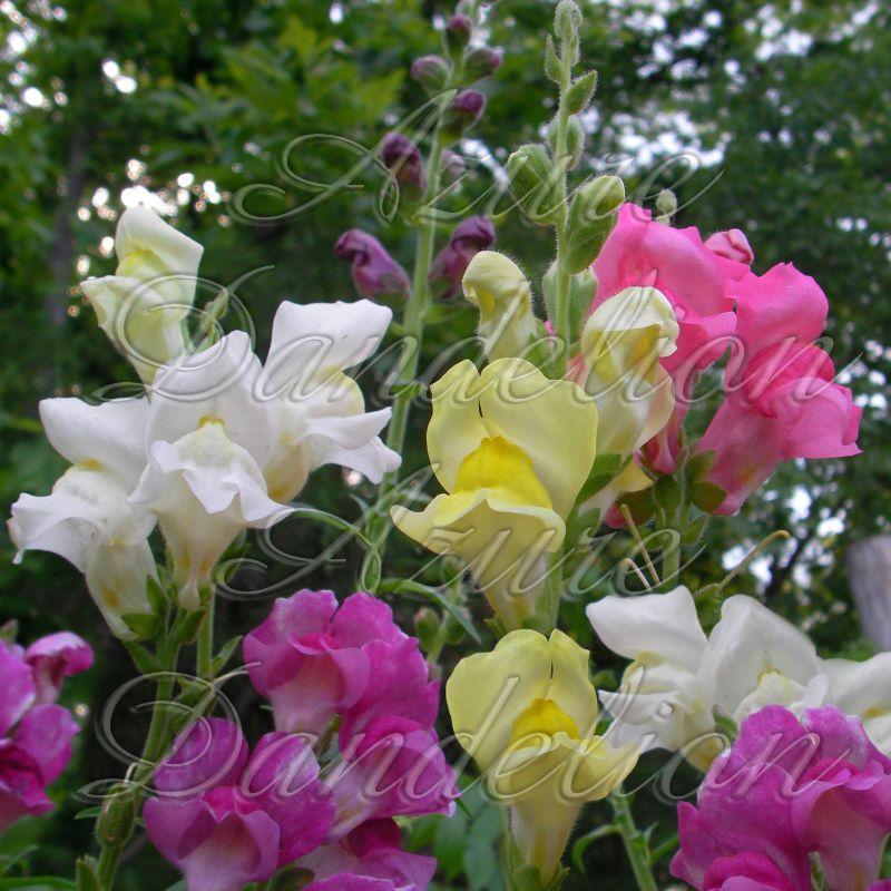 Heirloom Rain Mix Tall Snapdragon Flower Seed Heirloom