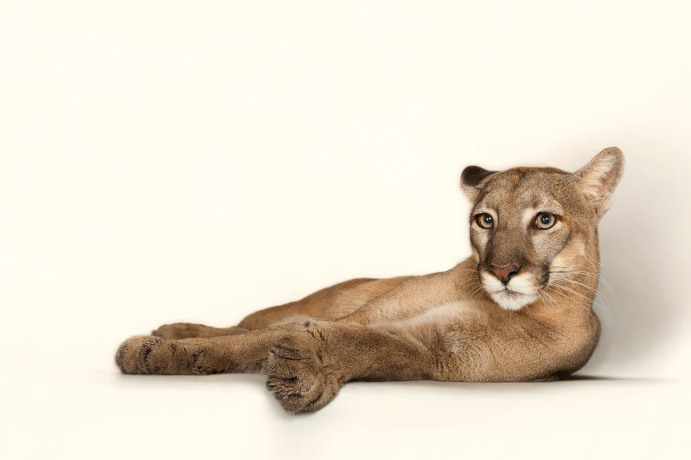 A Florida Panther Named Lucy Is Shown At Tampa S Lowry Park Zoo