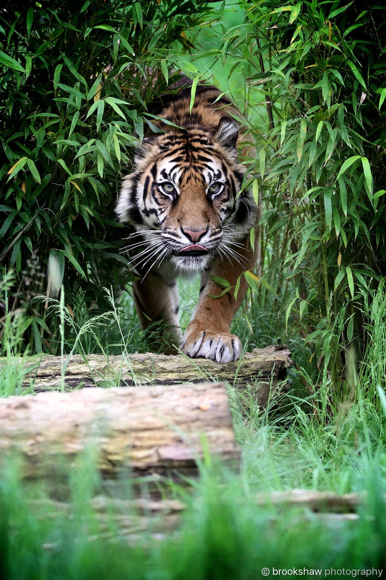 Through the undergrowthu a beautiful sumatran tiger named puna at