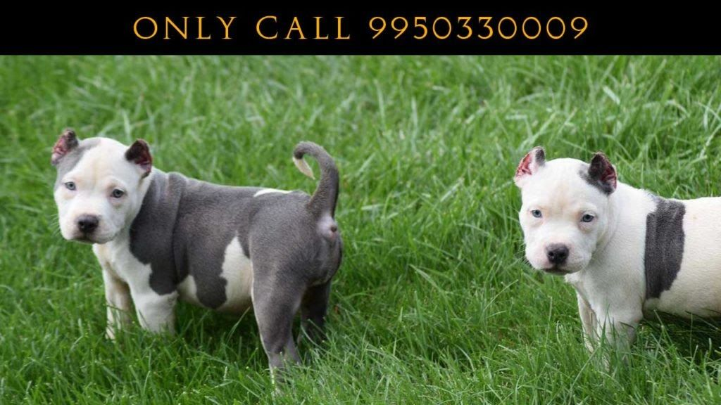 American Bully Puppies For Sale Puppies American Bully Cute