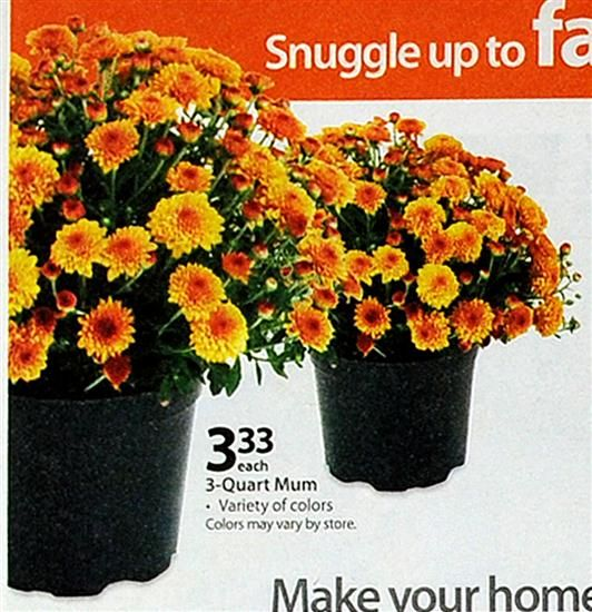 Mums Just 3 33 At Walmart A Great Way To Dress Up Your House For