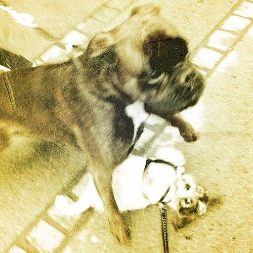 heididahlsveen:  #atsjoo and the big #boxer Emma #dog #puppy #hund