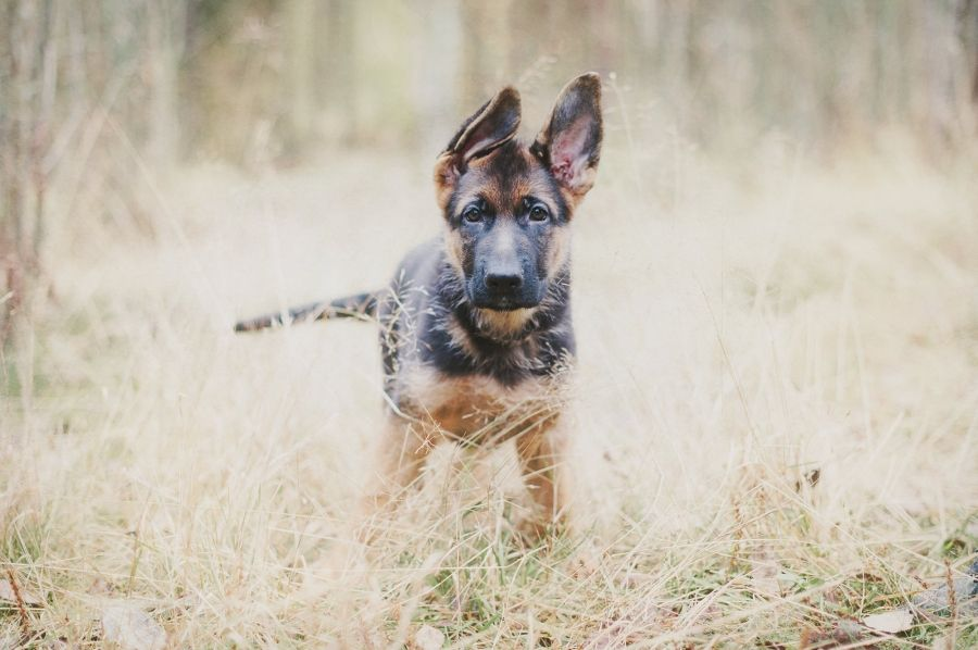 German Shepherd Dog puppy.  By Nani Annette.
