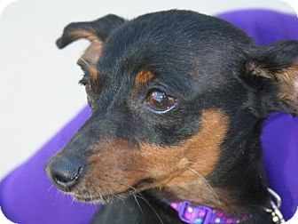 Fort Wayne, IN - Manchester Terrier Mix. Meet Penny, a dog for adoption. http://www.adoptapet.com/pet/18428930-fort-wayne-indiana-manchester-terrier-mix