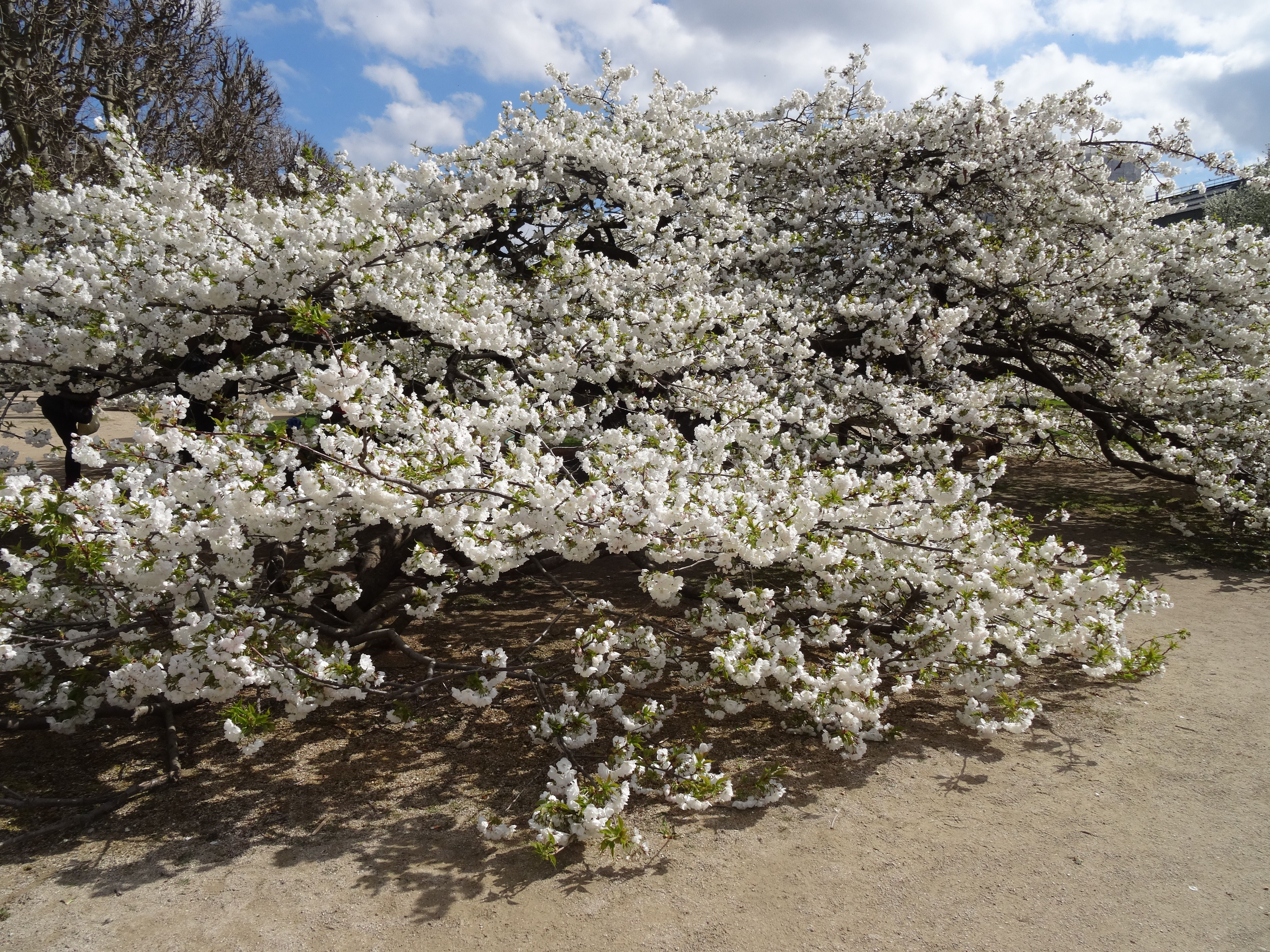 First Signs Of Spring At The Jardin Des Plantes Cherry Blossoms