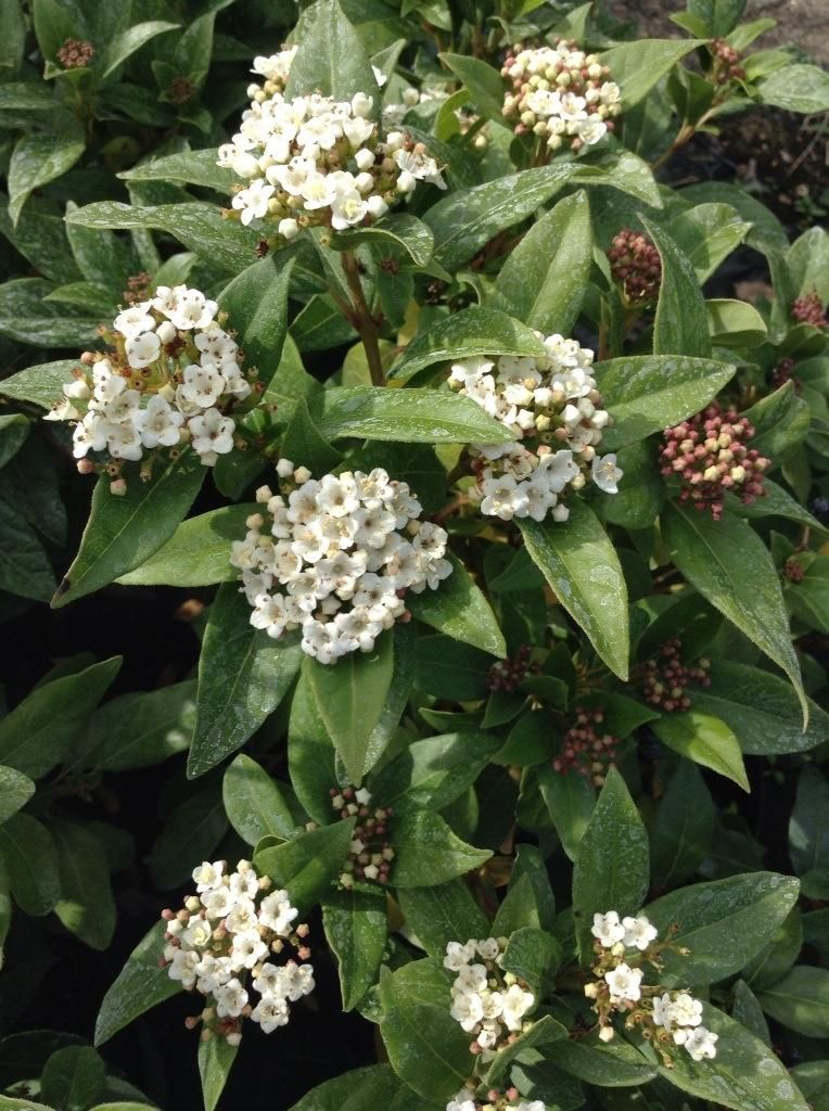 Viburnum davidii is an evergreen shrub with clusters of small plants viburnum davidii is an evergreen shrub with clusters of small white flowers mightylinksfo