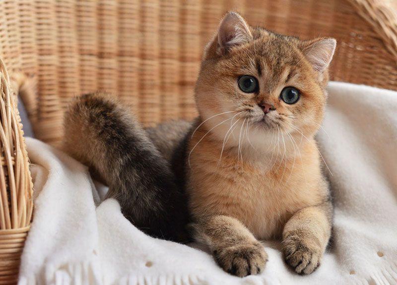 коты британская шиншилла всю универсальность